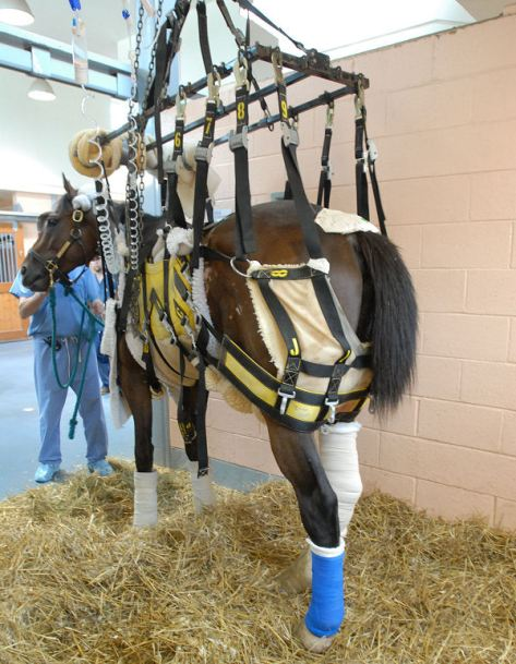 Barbaro stands in his stall in the ICU  with the aid of a sling to help him lessen his weight in his rear legs at University of Pennsylvania's New Bolton Center Thursday, July 13, 2006 in Kennett Square, PA. (Photo/University of Pennsylvania/Sabina Louise Pierce).