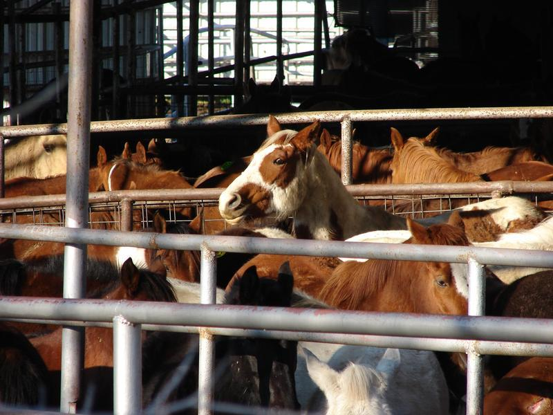 Horses awaiting slaughter, Dallas Crown holding pen, Kaufman, Texas.