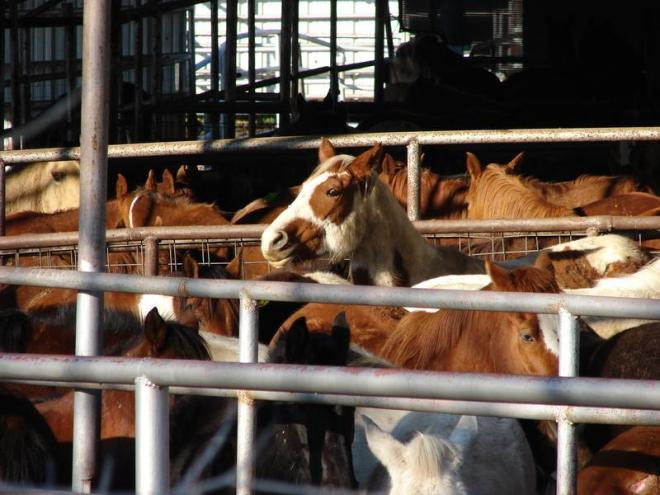 Horses awaiting slaughter, Dallas Crown holding pen, Kaufman, Texas.