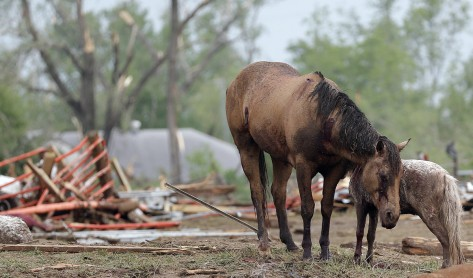 Injured horses huddle together in the rubble following a tornado in Oklahoma. Photo by Chris Landsberger/The Oklahoman.