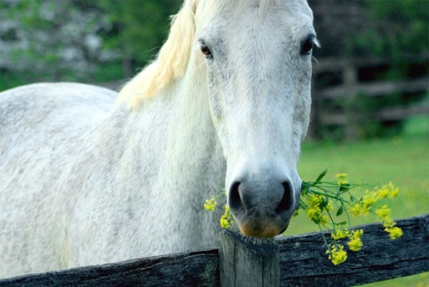 Horse with yellow flowers in her mouth.
