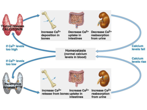 Figure 2. Calcium regulation in the blood is tightly controlled.