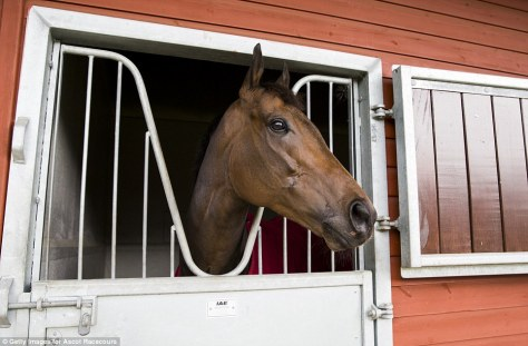 Bay racehorse looks out from his stall. Google search result. Unattributed image.