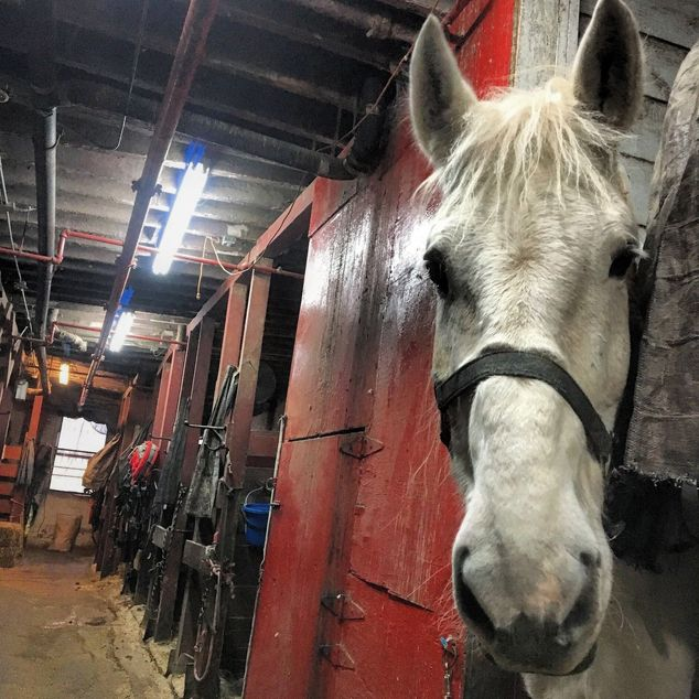 Underweight New York City carriage horse looks out from his cramped, squalid conditions.