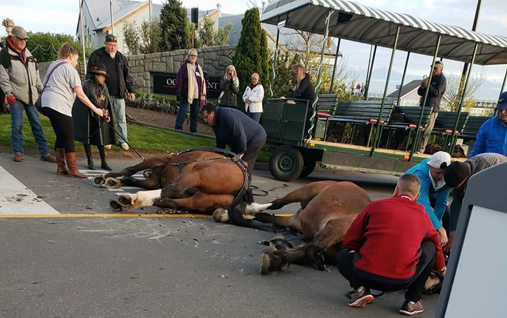 "Horses collapse at Ogden Point ""It was shocking and traumatic"" says witness."