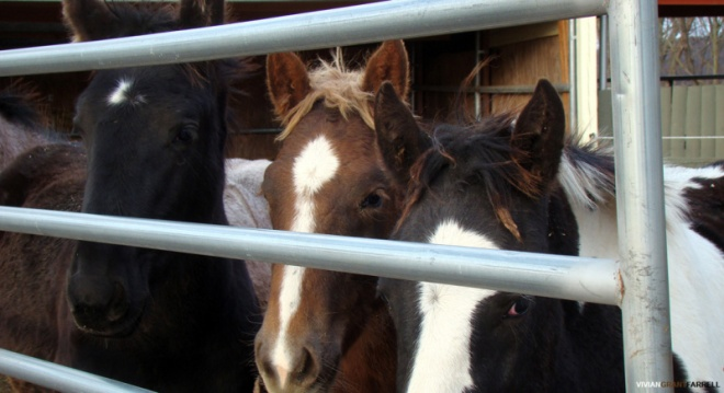 Premarin foals. By Vivian Grant Farrell..