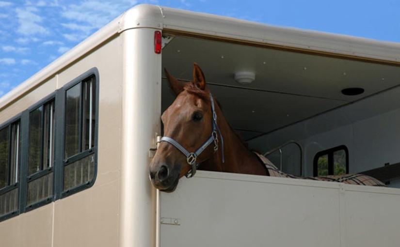 Horses peers contentedly from a trailer. Supplied by Double D Trailers.