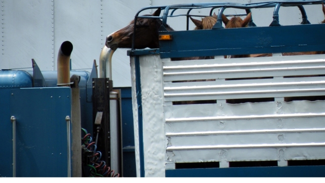 Slaughterbound horses in a trailer heading across the US border to Canada. Image source: Unknown.