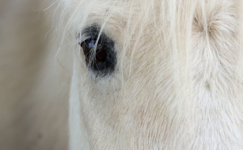 Close up of portrait of a white horse.